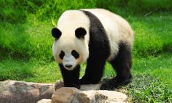 Panda in China
